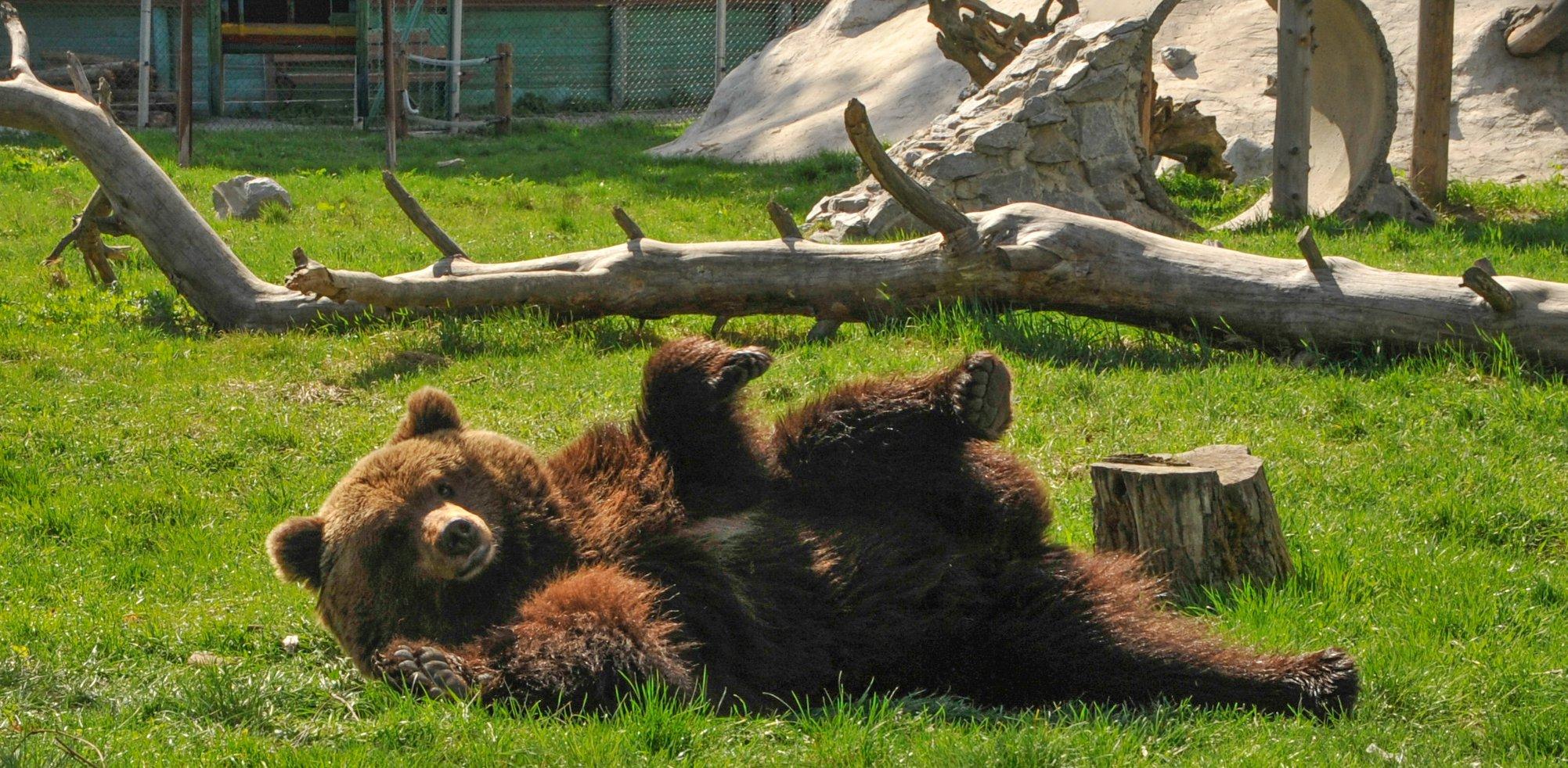 Звіт за допомогу притулку для ведмедів «Біла Скеля»